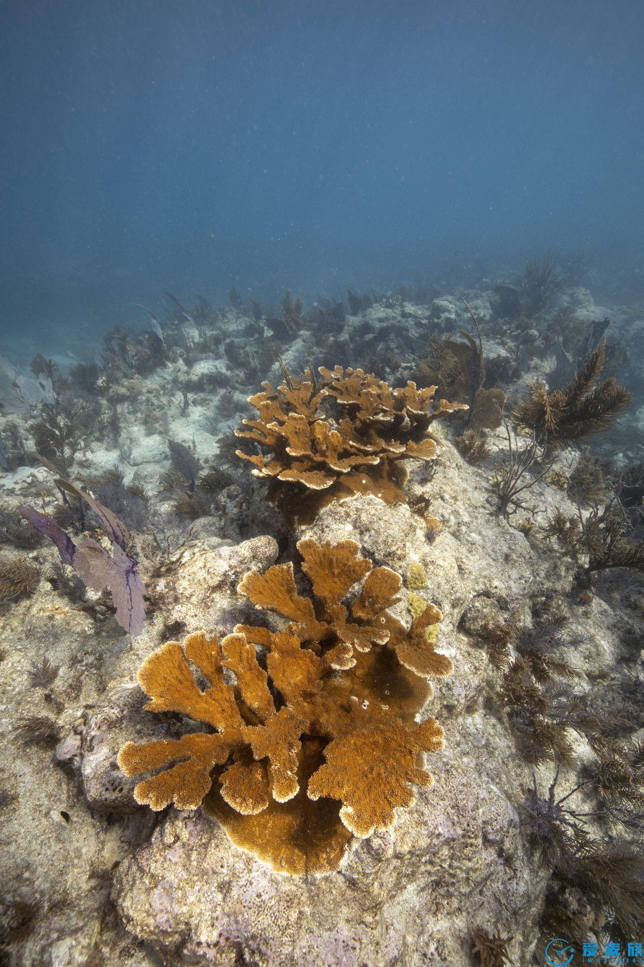 Carysfort珊瑚礁 限量版腕表